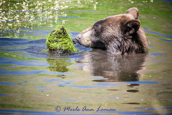 Black Bear eating his salad