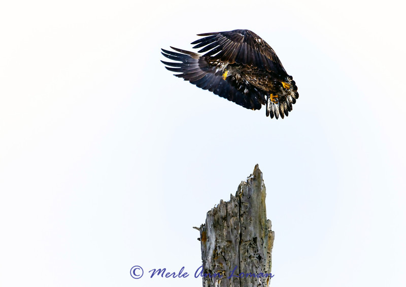 Immature Bald Eagle landing on snag (landscape)