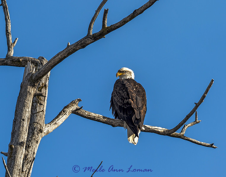 Bald Eagle over Sweathouse Creek