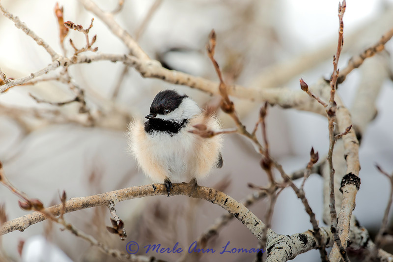 Brrrr. Black-capped Chickadee on Aspen branch