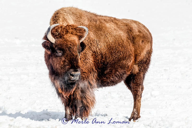 Bison (Bos bison) in Montana winter IMG_7797