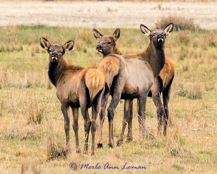 Elk - Three youngsters straying from the herd