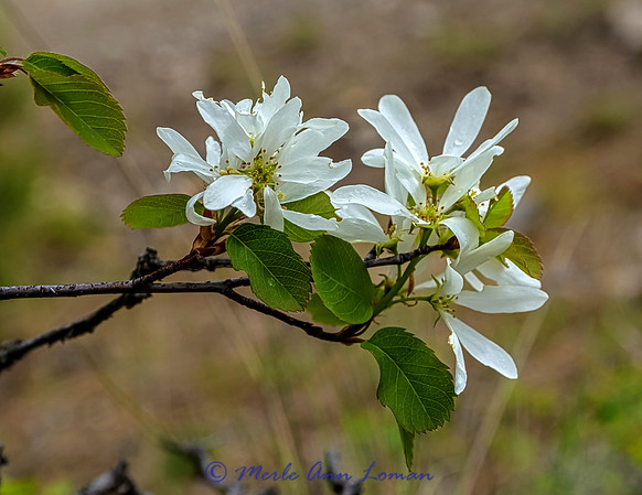 Serviceberry in April on a rainy day - IMG_2432