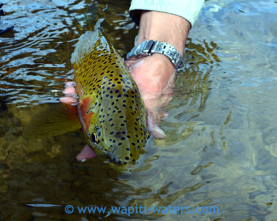 Fly fishing the Blackfoot River in early August