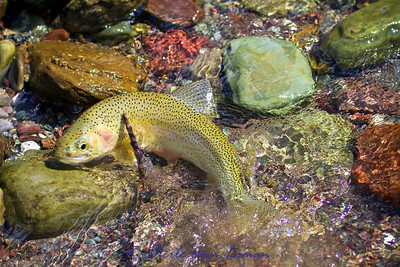 Westslope cutthroat trout in Montana