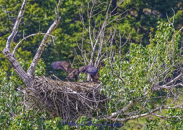 Two Bald Eagle chicks getting ready to fledge. IMG_9328. ¯\_(ツ)_/¯ Please share and like the A Montana View Facebook page! Thanks so much for viewing.   visit www.amontanaview.com   #Photography #Montana #MontanaMoment  #Eagle - Buy this photo at this link http://smu.gs/1Fx7rRw