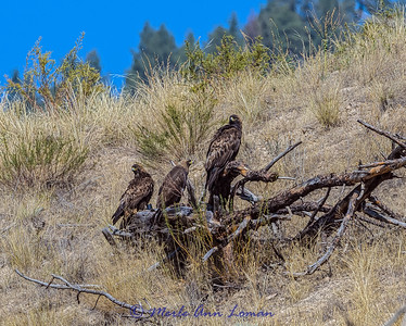 Golden Eagles on the Flathead River near Dixon IMG_8834 ¯\_(ツ)_/¯ Please share and like the A Montana View Facebook page! Thanks so much for viewing.   visit www.amontanaview.com   #Photography #Montana #MontanaMoment #GoldenEagle- Buy this photo at this link http://smu.gs/1KVZkAA