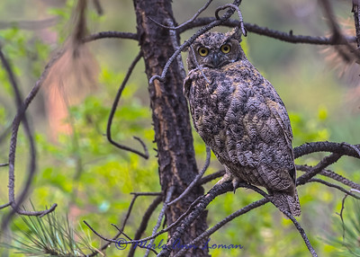 Great Horned Owl IMG_6567  ¯\_(ツ)_/¯ Please share and like the A Montana View Facebook page! Thanks so much for viewing.   visit www.amontanaview.com   #Photography #Montana #MontanaMoment #Great Horned Owl - Buy this photo at this link http://smu.gs/1EV9UVM