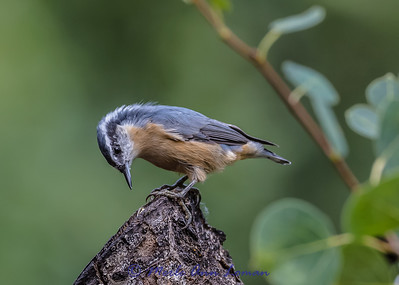 Red-breasted Nuthatch IMG_3135 ¯\_(ツ)_/¯ Please share and like the A Montana View Facebook page! Thanks so much for viewing.   visit www.amontanaview.com   #Photography #Montana #MontanaMoment #nuthatch - Buy this photo at this link http://smu.gs/1IpU7oG