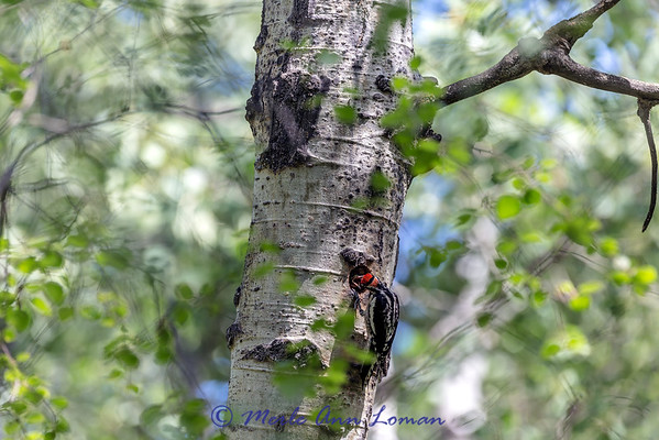 Red-naped Sapsucker feeding a chick sap - I saw it gather the sap in it's bill and come back to the next. IMG_1475 - ¯\_(ツ)_/¯ Please share and like the A Montana View Facebook page! Thanks so much for viewing.   visit http://www.amontanaview.com   #Photography #Montana #MontanaMoment #sapsucker - Buy this photo at this link http://smu.gs/1SQTd68