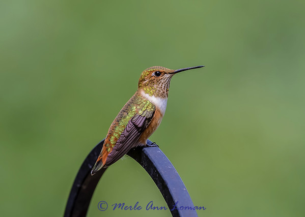 Female Rufous Hummingbird IMG_3187 ¯\_(ツ)_/¯ Please share and like the A Montana View Facebook page! Thanks so much for viewing.   visit www.amontanaview.com   #Photography #Montana #MontanaMoment #rufous - Buy this photo at this link http://smu.gs/1el4GLO