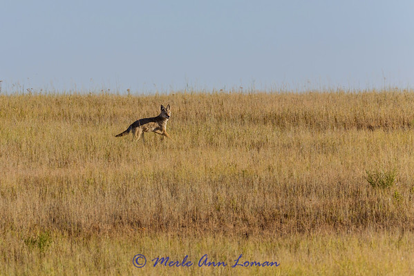 Coyote, Canis latrans IMG_5888  ¯\_(ツ)_/¯ Please share and like the A Montana View Facebook page! Thanks so much for viewing.   visit www.amontanaview.com   #Photography #Montana #MontanaMoment #coyote - Buy this photo at this link http://smu.gs/1Mf3qay