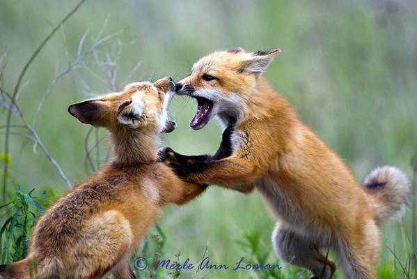 Red Fox - Vulpes vulpes - kits at play