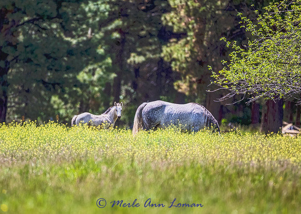 Mare and foal IMG_9369  ¯\_(ツ)_/¯ Please share and like the A Montana View Facebook page! Thanks so much for viewing.   visit www.amontanaview.com   #Photography #Montana #MontanaMoment #horse - Buy this photo at this link http://smu.gs/1QaJFoC