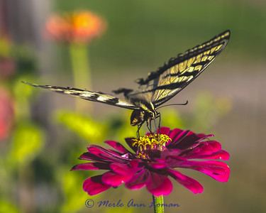 Swallowtail IMG_3629  ¯\_(ツ)_/¯ Please share and like the A Montana View Facebook page! Thanks so much for viewing.   visit www.amontanaview.com   #Photography #Montana #MontanaMoment #Swallowtail- Buy this photo at this link http://smu.gs/1i0ydNo